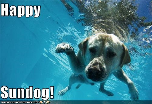 cooling off golden retriever happy sundog swimming swimming pool - 5002833408
