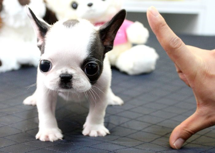 cute pictures of mini french bull dogs that are the cutest puppers with squished noses