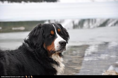 beach bernese mountain dog goggie ob teh week outdoors - 5011948544