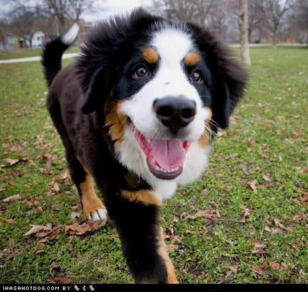 bernese mountain dog,goggie ob teh week,happy dog,outdoors,puppy