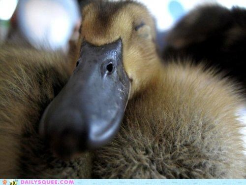 beak bill duckling sleepy squee spree winner