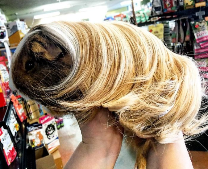 guinea pigs with long hair