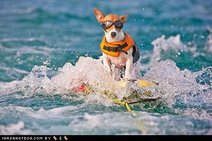 beagle border collie chihuahua cooling down fridge goggles golden retreiver hot dog ice cube jack russell terrier mixed breed mutt outdoors pit bull pool popsicle silky terrier summer sunny day swimming weimaraner - 5016085504