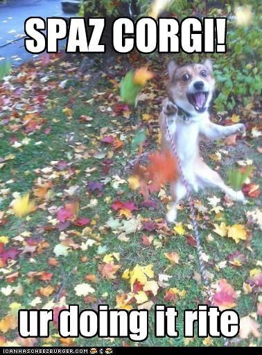 corgi crazy excited happy dog jumping maniac spaz - 5016672256