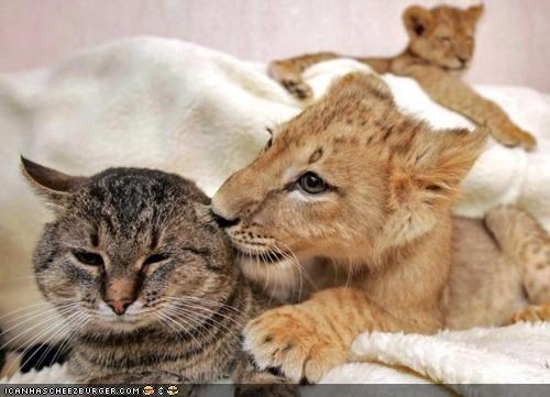 ancestors,cubs,cyoot kitteh of teh day,ears,Interspecies Love,lions,related