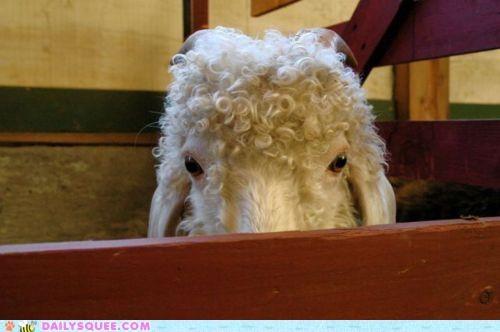 acting like animals dramatic evil goat meme revenge - 5017692928