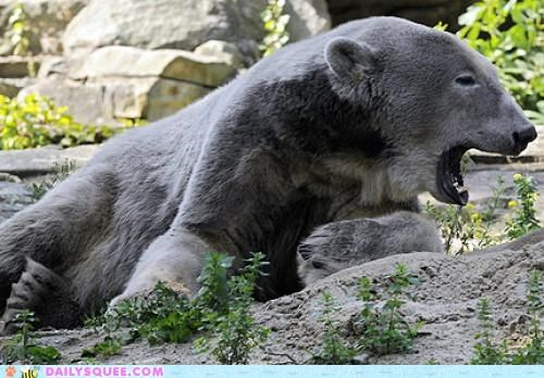 greyscale grizzly bear grolar bear hybrid offspring pizzly bear polar bear whatsit whatsit wednesday - 5017710592