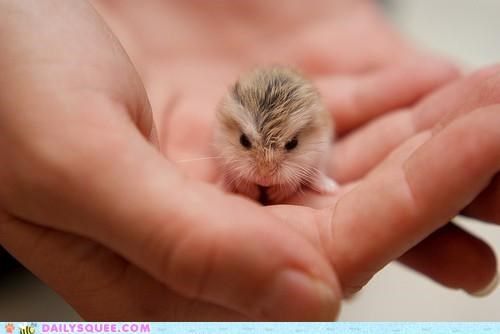 adorable baby cute dwarf hamster emphatic exaggerated grumpy Hall of Fame hamster little tiny - 5017770496