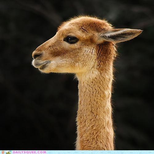 adorable Awkward comparison cute giraffes llama long neck - 5017803008
