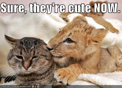 animals Cats cute grow up I Can Has Cheezburger Interspecies Love lions - 5018503168