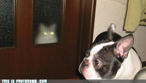 Animal Bomb,boston terrier,cat,dogs,door