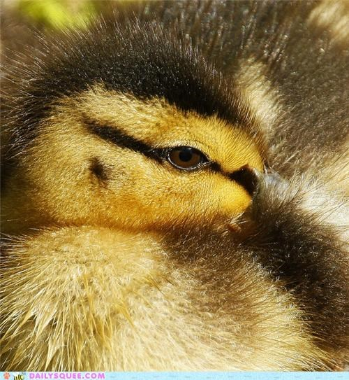 amazing,baby,closeup,duck,duckling,eye,spectacular,squee spree,zoom,zoomed in