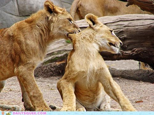 acting like animals Babies baby biting cub cubs grabbing lion lions moving neck no refusal refusing request scruff sibling rivalry siblings standing stuck superiority