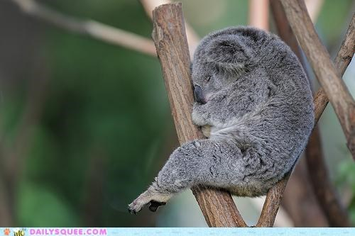 asleep dreaming Hall of Fame happy koala peaceful position pun sleeping three tree - 5021579776