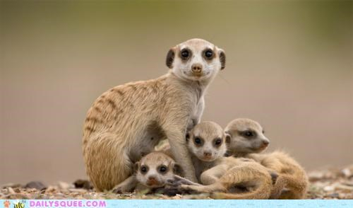 Babies baby big contradiction family happy little love meerkat Meerkats size-doesnt-matter