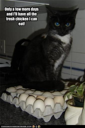 caption captioned cat chicken days do want egs few fresh more noms only waiting - 5023228160