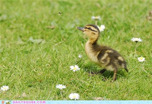baby,conclusion,duck,duckling,end,mallard,mayfly,squee spree,Staring,staring contest