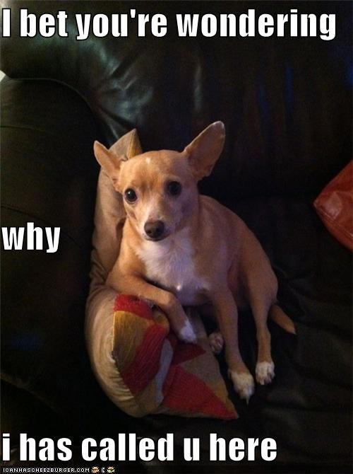 called you,chihuaha,couch,discussion,mixed breed,sitting,talk,we need to talk,whats-up