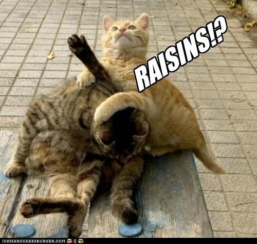 animals Cats expressions I Can Has Cheezburger Memes raisins wrestling - 5028267520