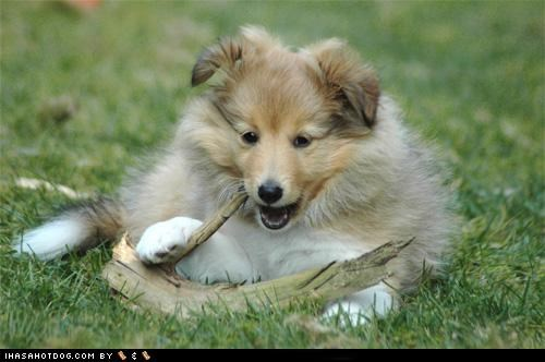 chewing,cute face,cyoot puppeh ob teh day,outdoors,puppy,sheltie,shetland sheepdog,stick