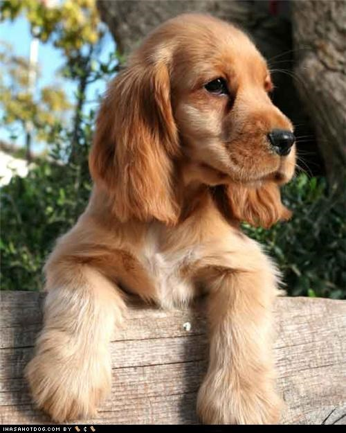 cocker spaniel,cyoot puppeh ob teh day,looking,outdoors,puppy,where-did-you-go
