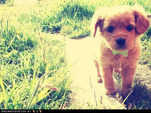 cute face,cyoot puppeh ob teh day,grass,outdoors,puppy,sunny day,walking,whatbreed