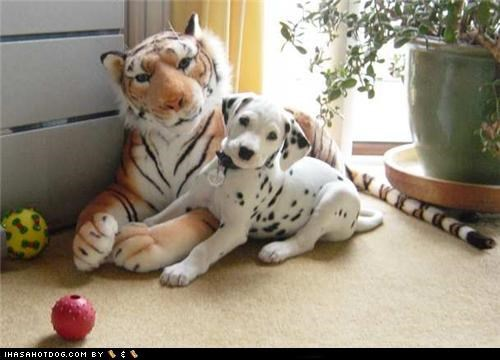 cyoot puppeh ob teh day,dalmatian,puppy,stuffed animal,tiger,toys