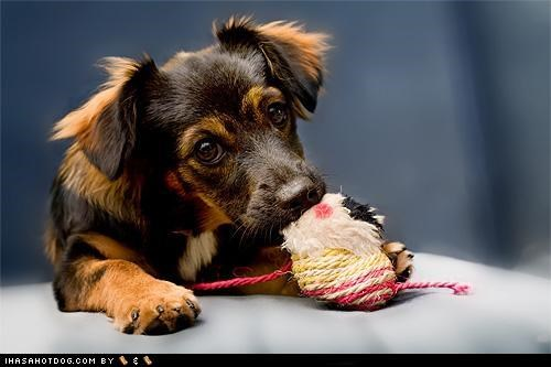 chewing,cyoot puppeh ob teh day,mixed breed,mutt,playing,toy