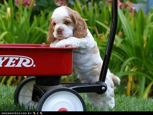 cyoot,outdoors,puppy,spaniel,wagon
