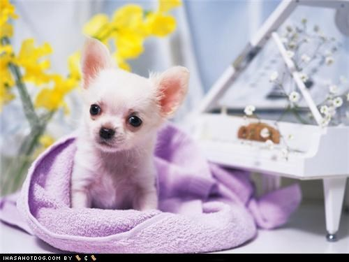 chihuahua cyoot puppeh ob teh day piano puppy purple towel sweet face