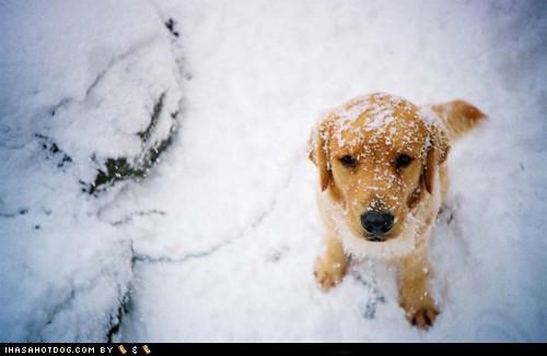 cyoot puppeh ob teh day golden retriever outdoors playing puppy snow snowy day winter - 5029134336