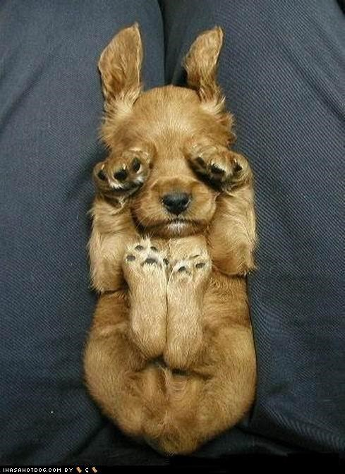 cyoot puppeh ob teh day,eyes closed,eyes covered,puppy,resting,sleep,sleeping,tired,whatbreed