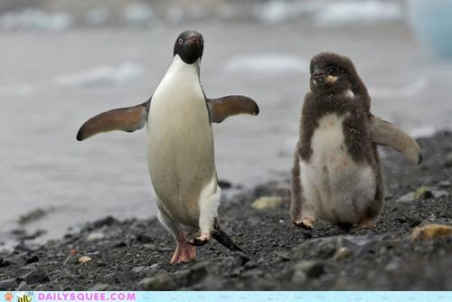 acting like animals,adult,baby,feathers,fledgling,follow,leader,molting,penguin,penguins