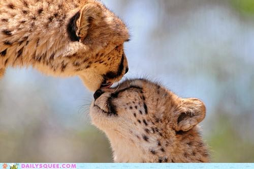 baby,cheetah,cheetahs,comparison,cub,goodnight,KISS,licking,mother