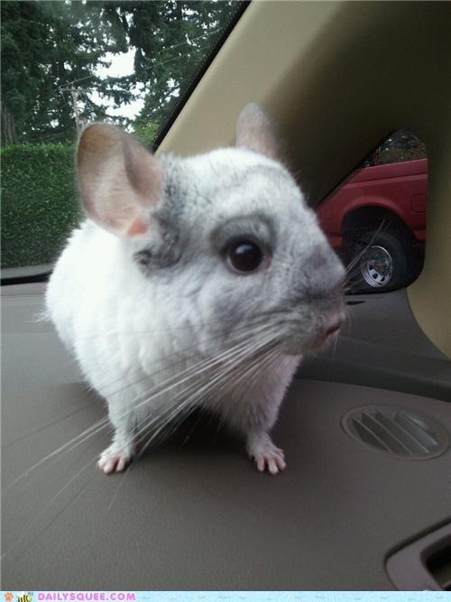 car chinchilla dashboard dashing pun reader squees riding - 5031315456