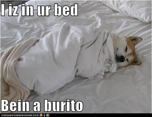 adorable,bed,burrito,cozy,dog burrito,nap time,shiba inu,sleeping