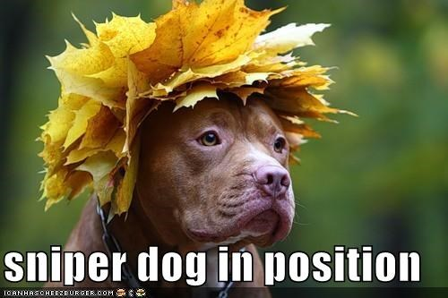 best of the week,leaves,on a mission,pit bull,pitbull,sniper,sniper dog