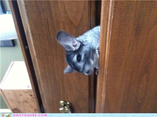 chinchilla,dresser,hanging out,hiding,Jalapeño,reader squees,surprise