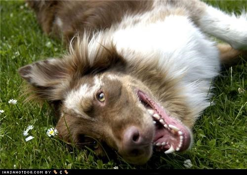 australian shepherd goggie ob teh week grass happy dog outdoors smiling - 5038170880