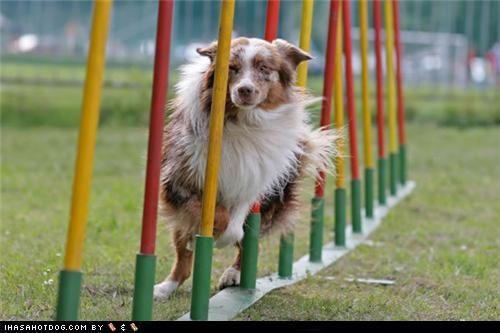 agility australian shepherd exercise goggie ob teh week running slalom - 5038187776