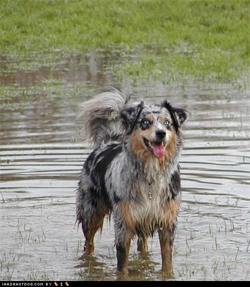 australian shepherd goggie ob teh week happy dog playing smiling splish splash water - 5038202624