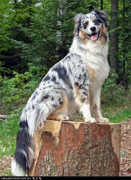australian shepherd goggie ob teh week happy dog luberjack outdoors smiling tree stump - 5038209280