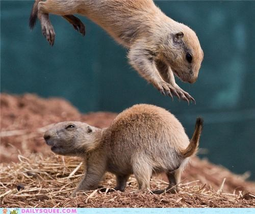 Babies,baby,FAIL,jumping,playing,pouncing,prairie dog,Prairie Dogs,squee spree,stealthiness,surprise