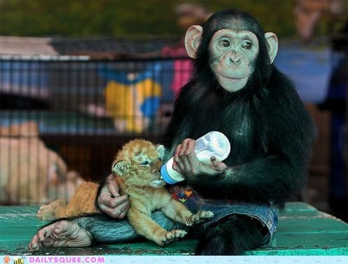 baby,bottle feeding,chimp,chimpanzee,cub,feeding,friend,friends,friendship,Hall of Fame,Interspecies Love,milk,noms,tiger