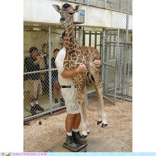 awesome,baby,giraffes,Hall of Fame,holding,human,TIL,weighing,weight