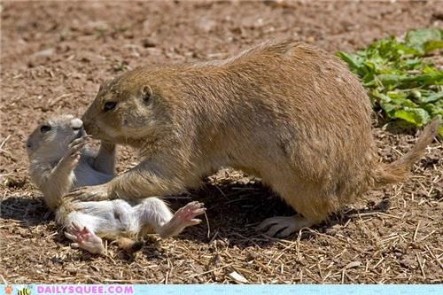 baby parent playing prairie dog Prairie Dogs squee spree tickles tickling - 5043558656