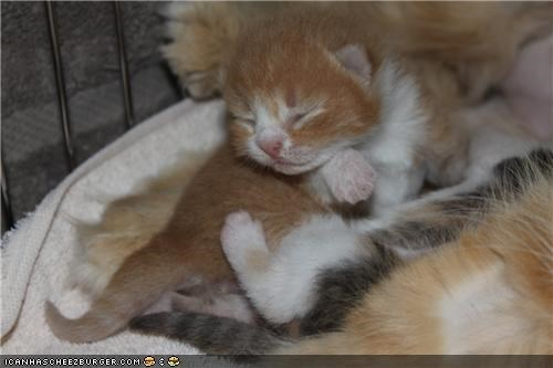 cyoot kitteh of teh day,kitten,newborn,pile,sleeping,tiny