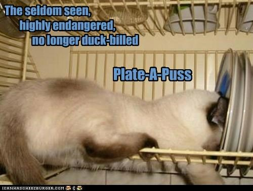 billed,caption,captioned,cat,duck,duck-billed,endangered,highly,literalism,no longer,plate,platypus,pun,puss,seen,seldom