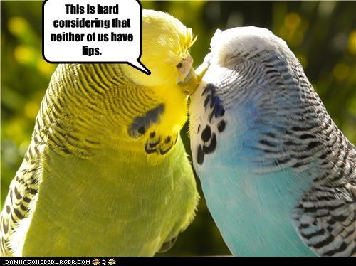animals,beaks,difficulty,I Can Has Cheezburger,kissing,lips,parakeets