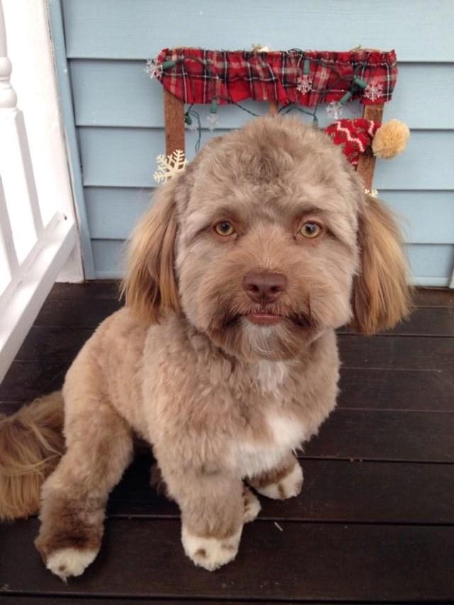 shih tzu dog with a human face